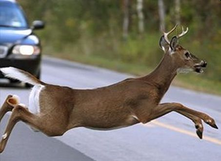 Deer-Vehicle Collisions Kill 200 people every year in the U.S.